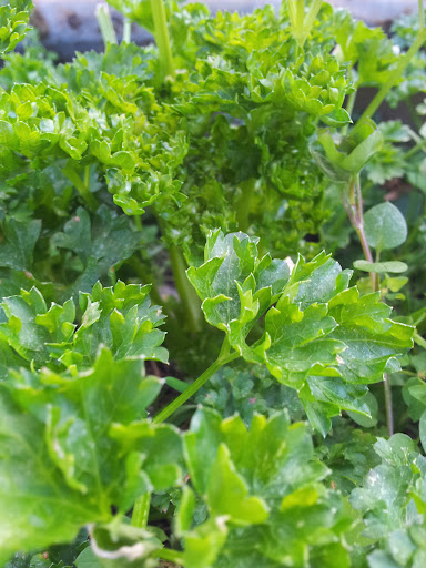 Parsley - a super food not simply a garnish